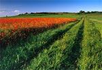 Makowe pola Padołu Zamojskiego - Niedzieliska