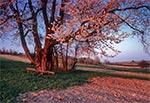 Stuletnia trześnia ozdobiona światłem zachodzącego słońca - Senderki