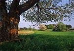 Stare owocowe drzewa na polach u podnóża Wielkiego Działu