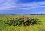 Krzew różany na łąkach między wsiami Wychody i Wieprzec
