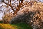 Bujne krzewy tarniny na miedzy Roztocza Szczebrzeszyńśkiego - wnętrze regionu