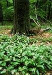 """Łany czosnku niedźwiedziego w rezerwacie """"Las Bukowy"""" koło Narola"""
