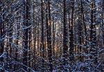 Sośnina w okolicy Florianki