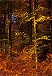 Lasy Roztocza Wschodniego/Południowego - między Wielkim Działem a Gorajami