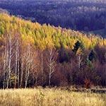Modrzewiowe lasy Roztocza Szczebrzeszyńskiego