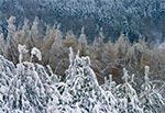 Oblodzone lasy Roztocza Szczebrzeszyńskiego
