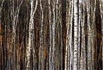 Rezerwat Wieprzec. Kiedyś rosły tu masowo cenne i rzadkie gatunki roślin. Utworzono więc rezerwat i prawie wszystko zarosło patyczkowatą brzeziną