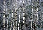 Brzezina zimą na Roztoczu Wschodnim / Południowym