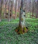 Rezerwat Księżostany - łany Żywca gruczołowatego, a dalej Zawilce