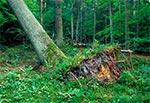 Wykrot w rezerwacie Bukowa Góra