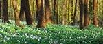 Las Cetnar kolo Kawęczynka  w kwietniu wygląda najpiękniej