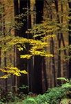 Roztoczańska buczyna porą jesienną
