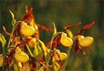 Obuwik pospolity (Cypripedium calceolus)