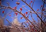 Oblodzony krzew dzikiej róży