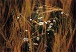 Odrobina chwastów w zbożu oznacza roztropną ilość chemii w uprawach