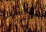 Suszący się na ścianie stodoły tytoń - Kawęczyn koło Szczebrzeszyna