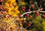 Jesienny krzew dzikiej roży