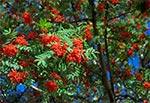 Owoce jarzębiny - przy drodze z Zamościa do Krasnobrodu (Białowola)