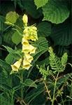 Naparstnica zwyczajna (Digitalis grandiflora Mill.)