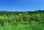 Słoneczniki w Zwierzyńcu