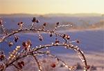 Oblodzona dzika róża na południowym stoku Bukowej Góry