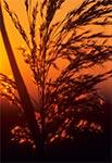 Trawy o zachodzie słońca