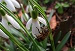 Dla odmiany coś aktualnego - dzisiaj (4 marca 2017) pszczółki gromadnie obsiadły przebiśniegi, bo na razie innych kwiatków brak.