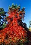 Sosna opanowana przez winobluszcz - lasy w okolicy Soch