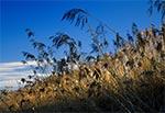 Zalodzone trzciny - zalew zamojski