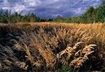 Dzikie trawy na Roztoczu Wschodnim/Południowym - okolice Prusia