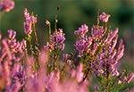 Kwitnące wrzosy w Puszczy Solskiej