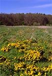 Kaczeńsce na łąkach w okolicy Zaboreczna