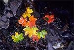 Przebarwione liście w potoku Szum