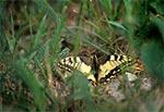 Paź królowej (Papilio machaon) na Roztoczu Wschodnim / Południowym