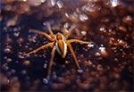 Bagnik przybrzeżny (Dolomedes fimbriatus)