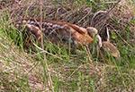 Koźlę sarny ukryte przed agresywnymi psami