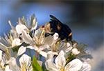 Czmiel zapylający kwiaty starej roztoczańskiej trześni