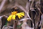 Pszczoła na podbiale pospolitym