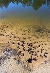 Kijanki w piaskowni Górniki koło Malewszczyzny