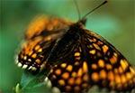 Motyl z rodziny rusałkowatych - Euphydryas maturna
