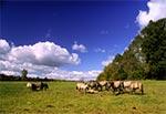 Koniki Polskie na pastwiskach Florianki