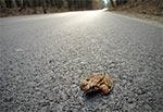 Żaba o sercu lwa  - nie lęka się samochodów na asfalcie ;-)