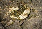 Gniazdo leśnych os rozgrzebane przez borsuka. Fotografując gniazda os i szerszeni pamiętajmy aby podsuwać tam tylko dłoń z aparatem. Lepiej bowiem chodzić ze spuchniętą ręką niż ze spuchniętą gębą ;-)