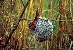 Gniazdo os na dzikiej łące - zdjęcie wykonane dokładnie we wsi Dziewięcierz - Słotwina