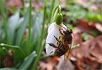 Dzisiaj (4 marca 2017) pszczółki gromadnie obsiadły przebiśniegi, bo na razie innych kwiatków brak.