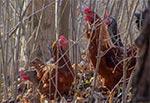 Odważne kuraki zapuszczające się w leśne roztoczańskie ostępy