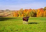 Krowa - obecnie niezwykle rzadki widok na Roztoczu. Najzdrowsze środowisko zapewaniły rodzinne, małe, tradycyjne gospodarstwa rolne. Zarówno ekologia jak i nowoczesny przemysł rolny czyni z ziemi piekło.