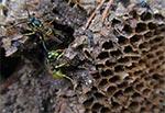 Gniazdo os rozgrzebane przez jakiegoś leśnego rozbójnika - może lisa, albo borsuka?