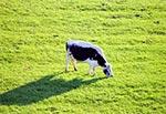 """""""Wściekłe krowy"""" na pastwisku w Białym Słupie"""