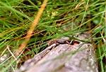 Wygrzewające się jaszczurki na mostku w rezerwacie Kobyle Jezioro